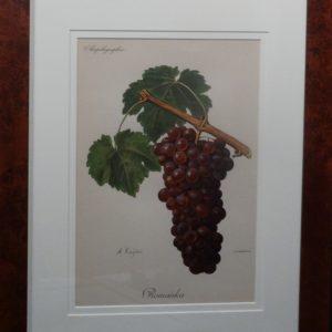 Ampelographie Romanka Wine Grapes FR6