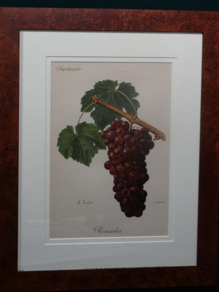 Ampelographie Romanka Wine Grapes FR6