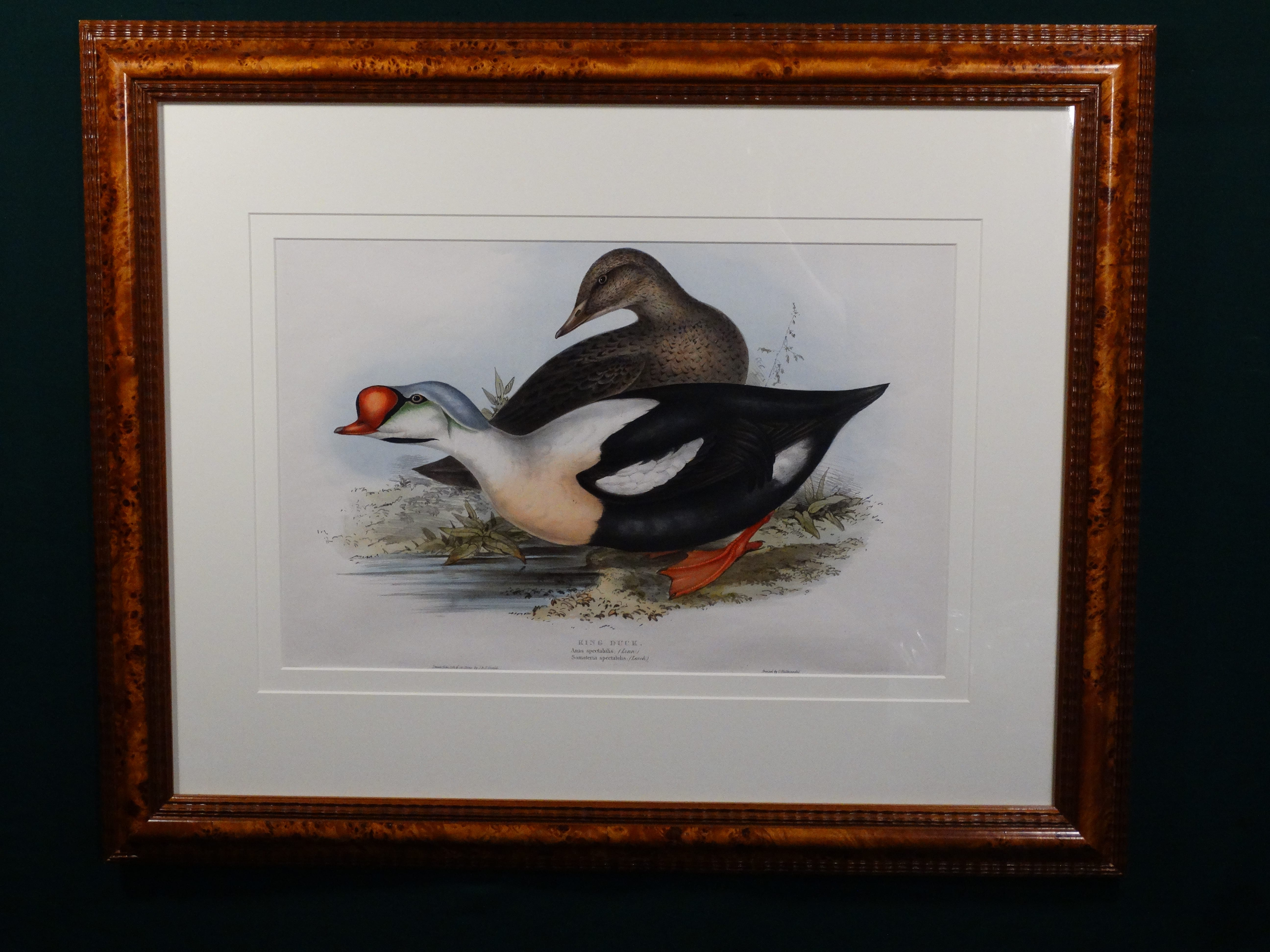 Gould King Duck. Fabulous antique duck print by John Gould. Hand colored antique lithograph from Birds of Great Britain c. 1860.