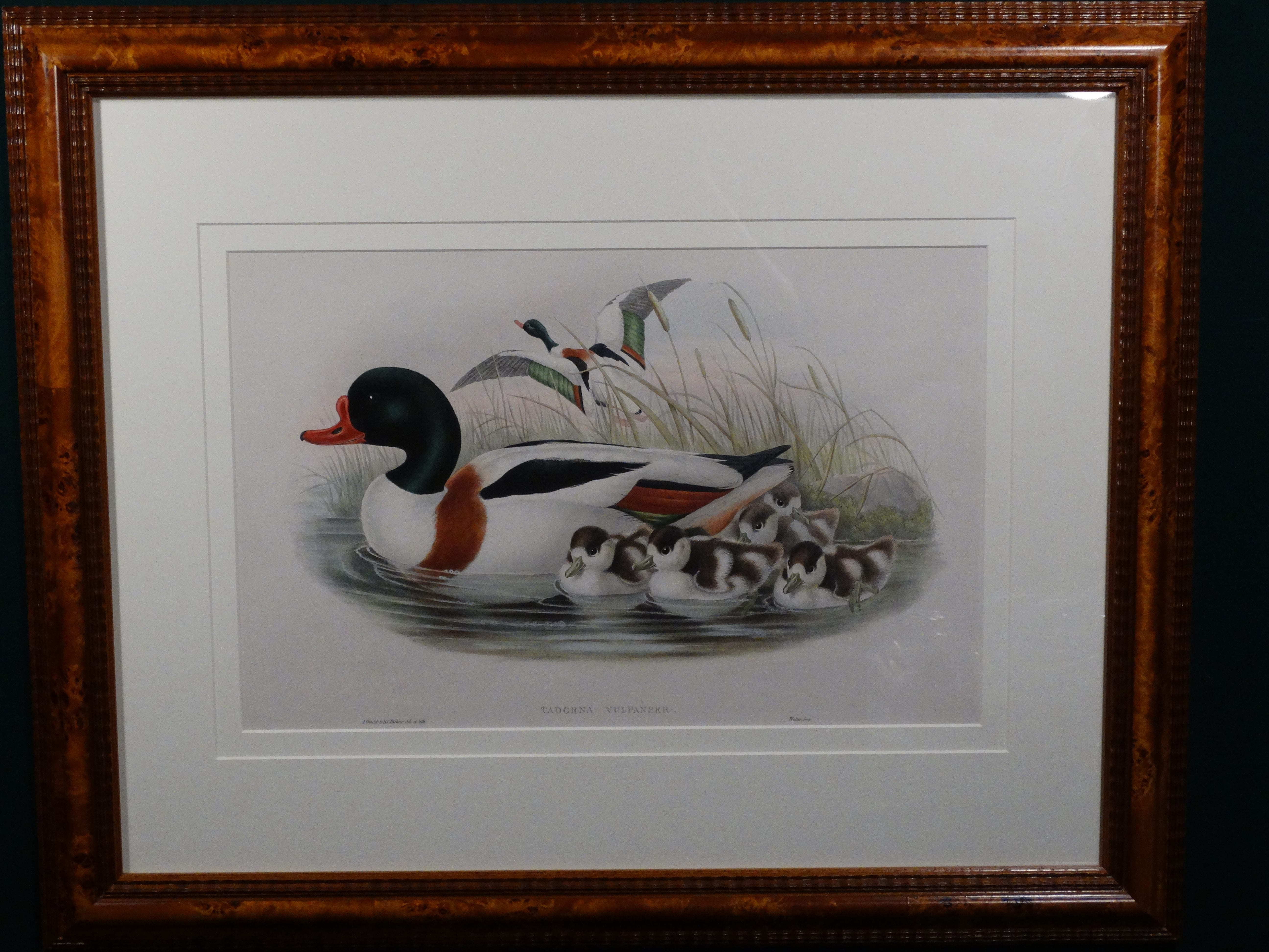 Gould Tadorna Vulpanser. Fabulous antique duck print by John Gould. Hand colored antique lithograph from Birds of Great Britain c. 1860.