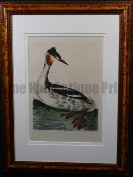 Pennant Great Crested Greebe. Fabulous rare hand colored copper plate engraving by Thomas Pennant c.1776