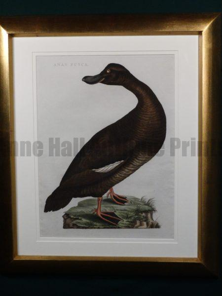 Nozeman Anas Fullica. Coming from Nederlandsche Vogelen, 1770-1829. Exquisite antique engraving with water coloring. The Dutch work of Nozeman, Sepp and Houttyn. Exquisite frame job.