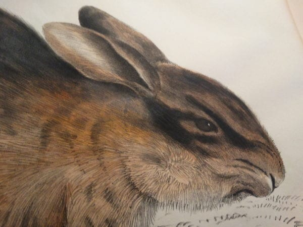 Rabbits! Buy Now: Hand Colored Antique Lithographs & Engravings of Rabbits & Bunnies! Buffon and Audubon illustrated bunnies. Buy now online.