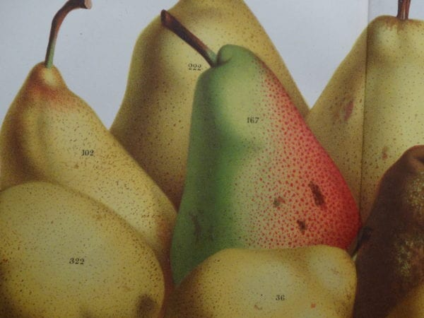 Fruit Antique Lithographs, Engravings Shop Now, 18th and 19th century illustrations.