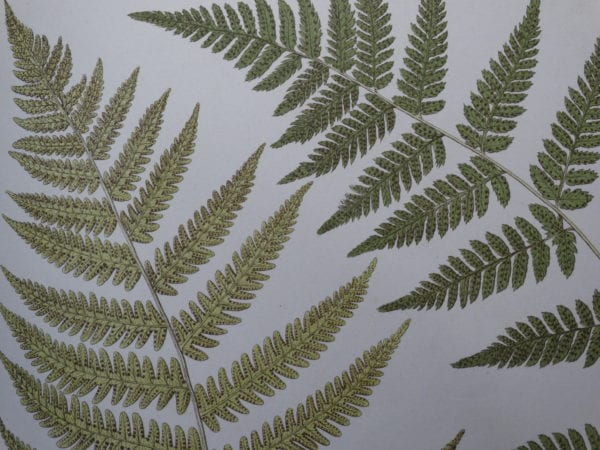 Ferns Antique Lithographs, Engravings Shop Now, 18th and 19th century illustrations.