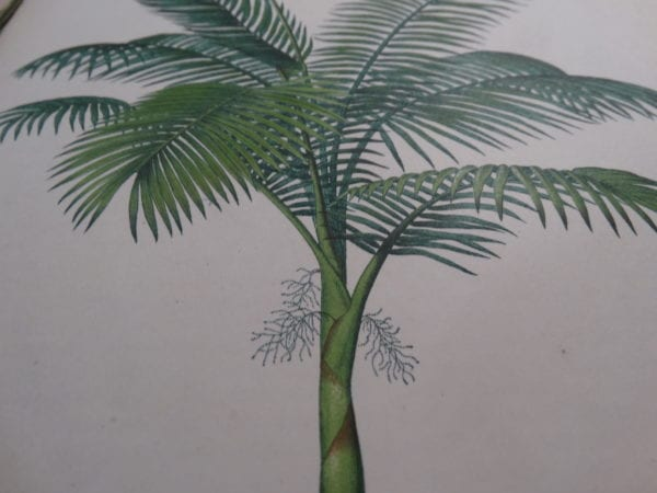 Palms and palm tree Antique Lithographs, Engravings Shop Now, 18th and 19th century illustrations.