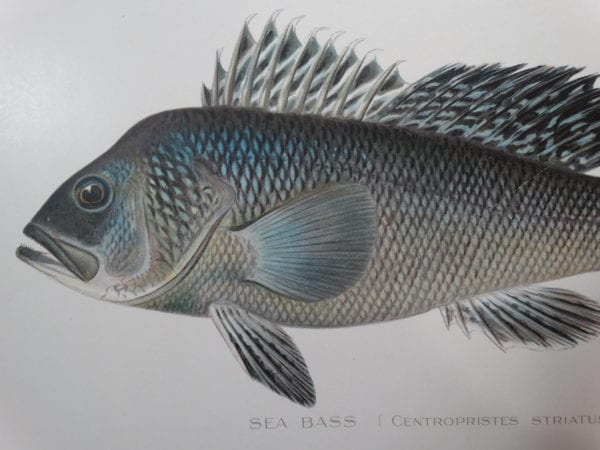 Ocean Fish Antique Lithographs, Engravings Shop Now, 18th and 19th century illustrations.