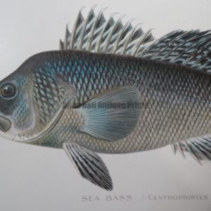 Ocean Lake Fish: Buy Antique Lithographs Over 100 Years Old