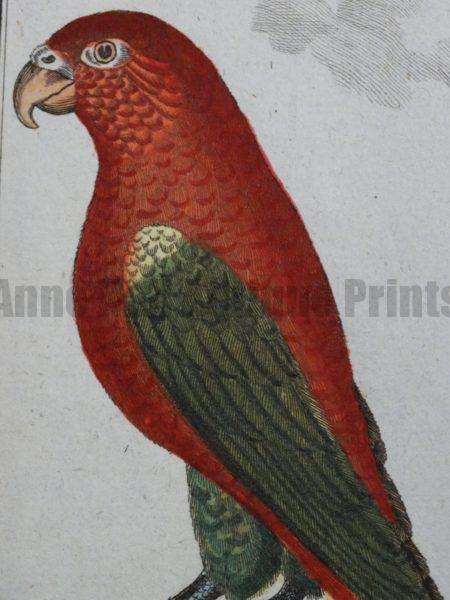 Parrots Antique Lithographs, Engravings Shop Now, 18th and 19th century illustrations.