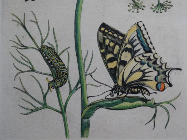 Insect Prints Antique Lithographs, Engravings. Shop & Buy Now! Genuine old hand colored 18th and 19th century insect & entomology illustrations.