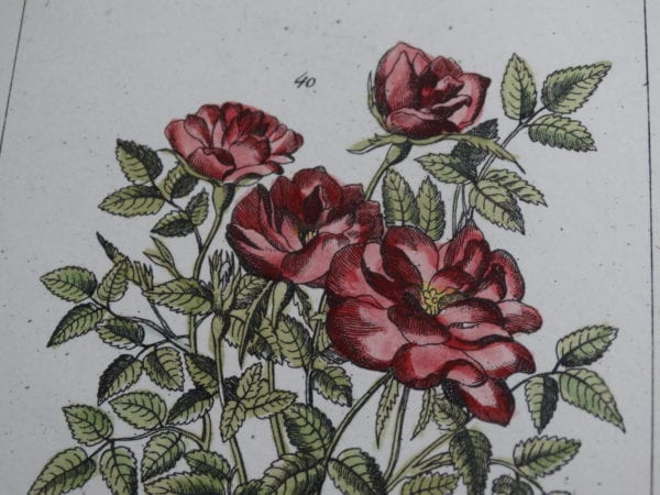 Flora Antique Lithographs, Engravings Shop Now, 18th and 19th century illustrations.