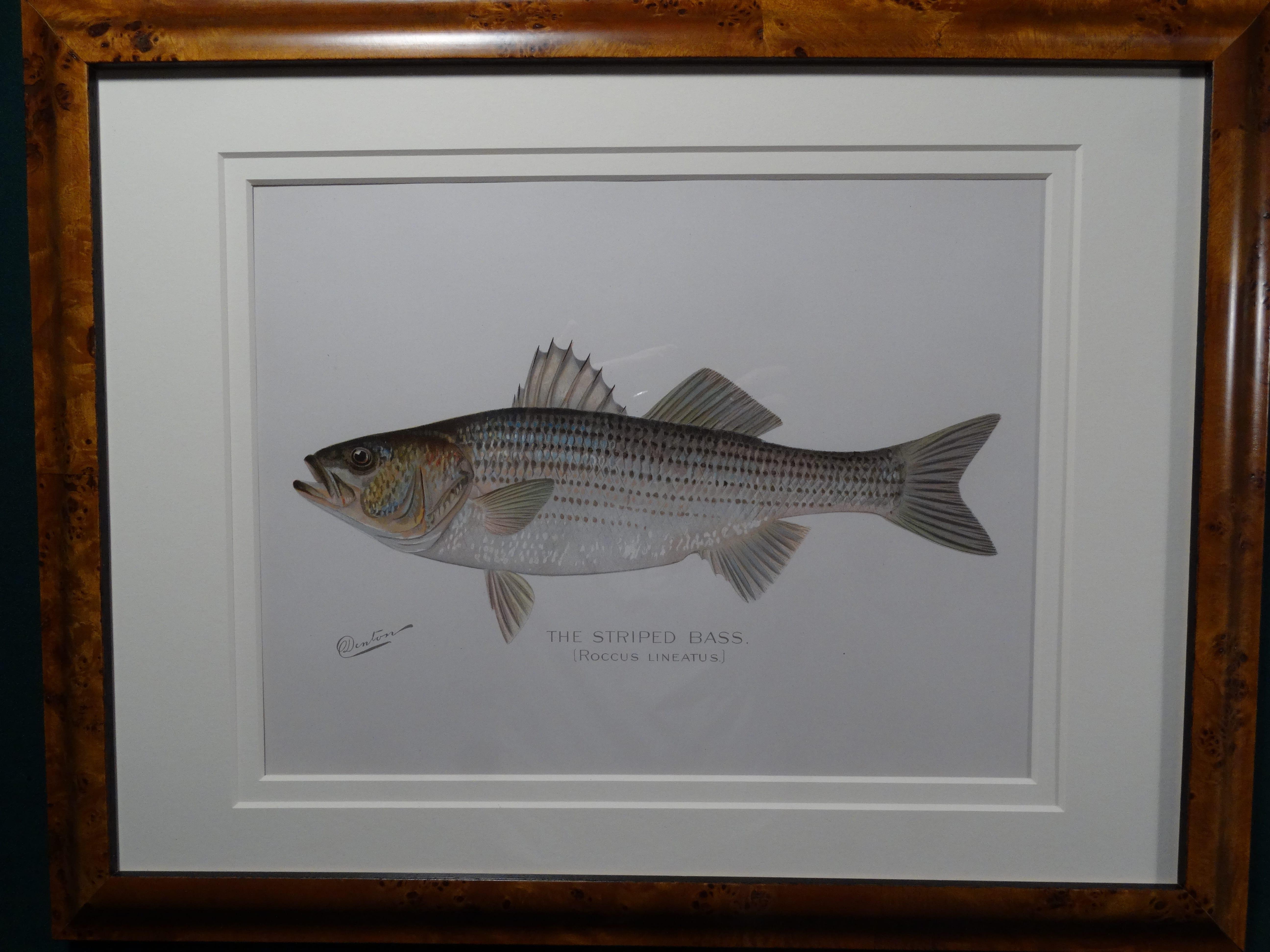 Framed Denton Striped Bass