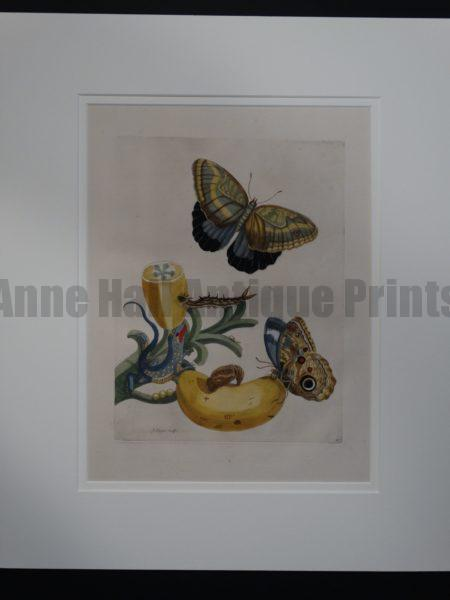 Maria Sybilla Merian Insects of Surinam Butterflies, Lizard, Banana Engraving DSC01753