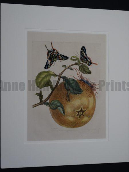 Maria Sybilla Merian Insects of Surinam Butterflies and Grapefruit Engraving DSC01754