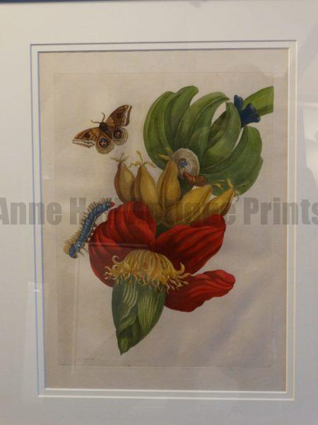 Maria Sybilla Merian Insects of Surinam Bananas Engraving