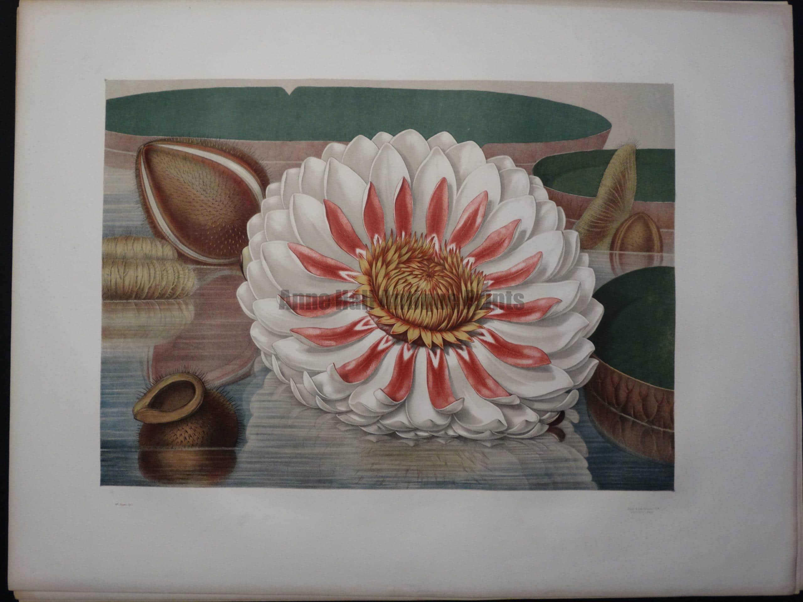 American Water Lily Victoria Regia