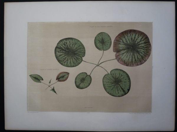 Early Lily Victoria Regia Boston 1854