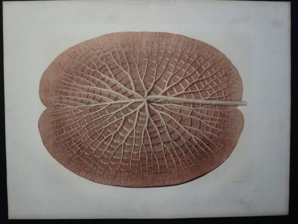 Underside Leaf Victoria Regia Boston 1854