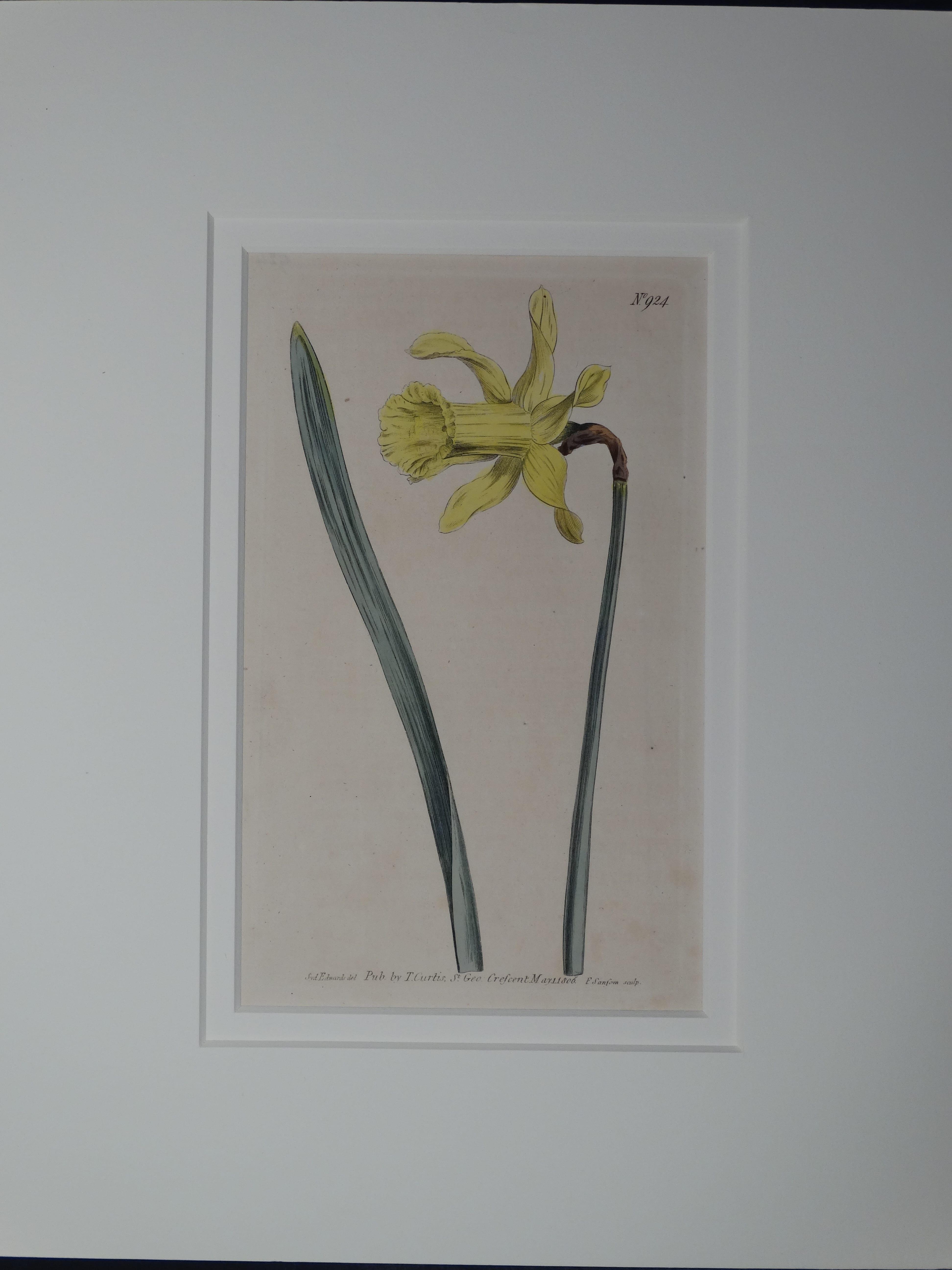 Daffodil by Curtis, #924