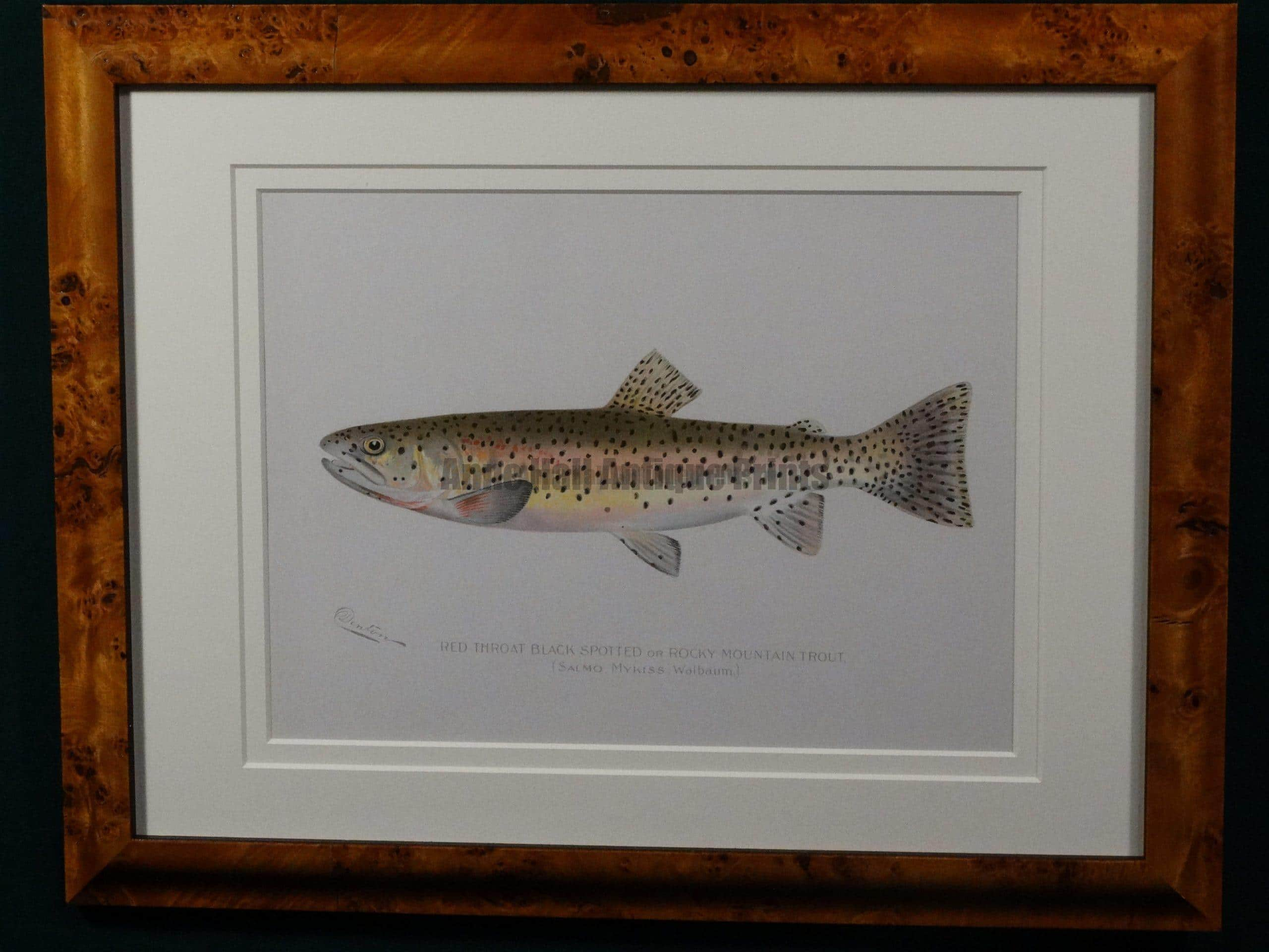 trout denton throat spotted antique anne hall prints