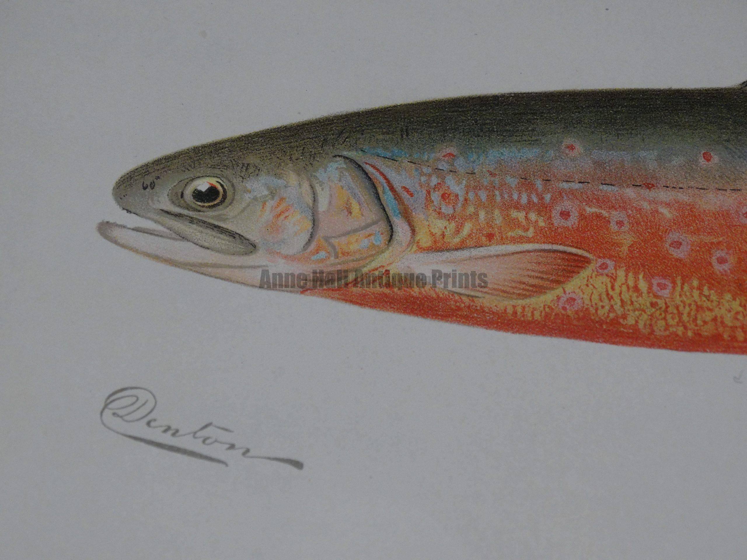 Denton Trout for Sport Fisherman's Home Decor or man cave.