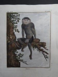 Douc Monkey