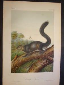 Dusky Squirrel