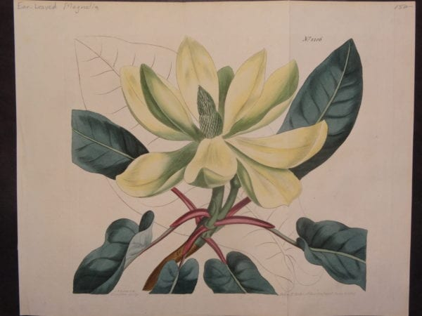 Ear Leaved Magnolia by Curtis, $150.