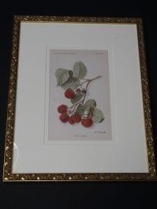 framed raspberries lithograph
