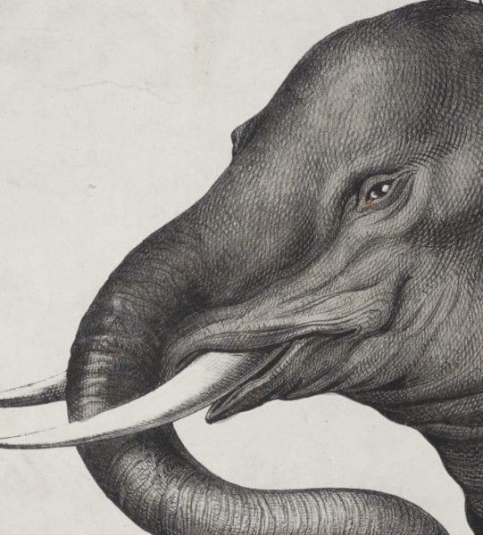 animals antique mammal lithographs engravings