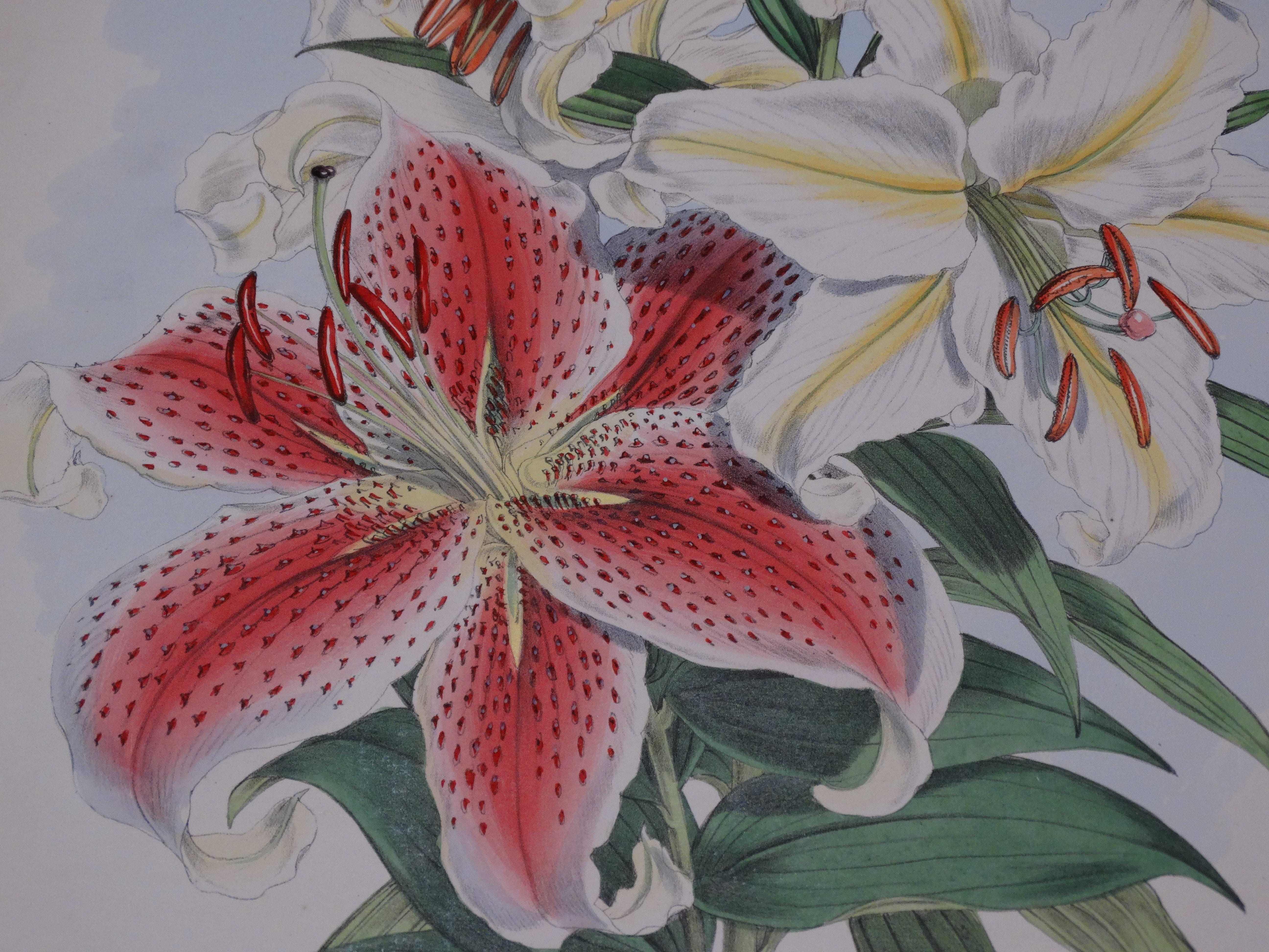 Elwes Lily Botanical Illustration by Walter Hood Fitch