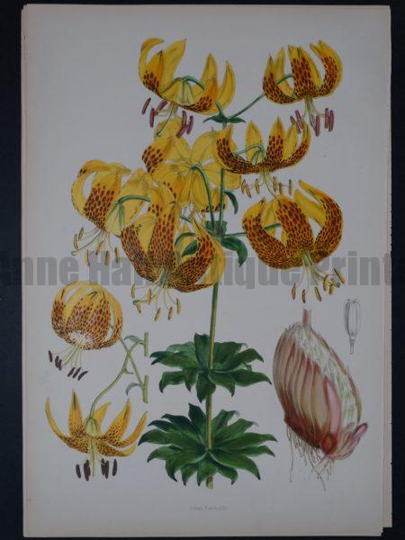 Lilium Monadelphum by Walter Hood Fitch and John Henry Elwes.