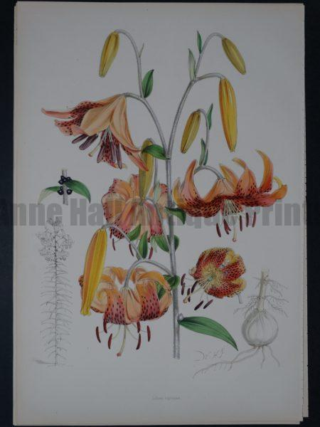 Spectacular antique lily lithograph with salmon tone watercolors.