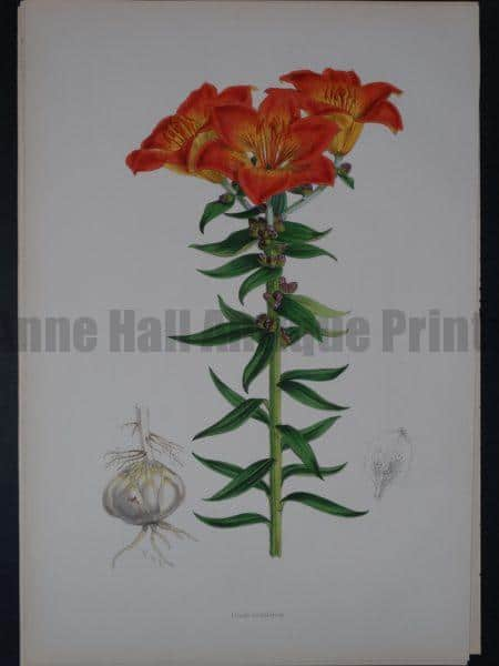 Lilium Monadelphum by Walter Hood Fitch and John Henry Elwes. A Monograph of the Genus Lilium.