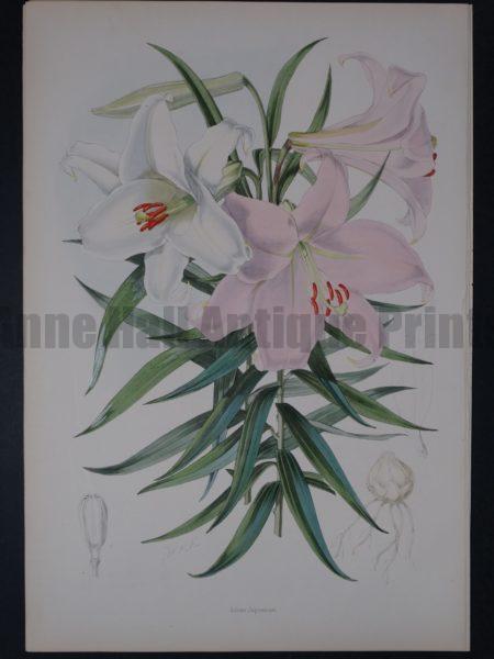 A Monograph of the Genus Lilium