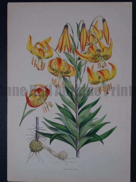 Rare folio watercolor lithograph of lilies.