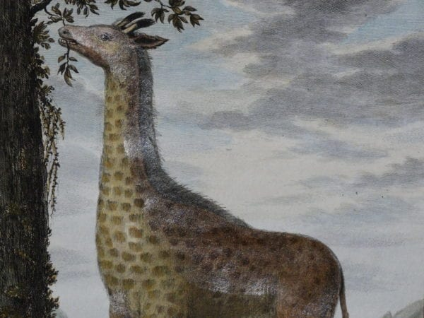 Exotic Species of Animals. Our antique prints engravings and lithographs, are over 100 years old.