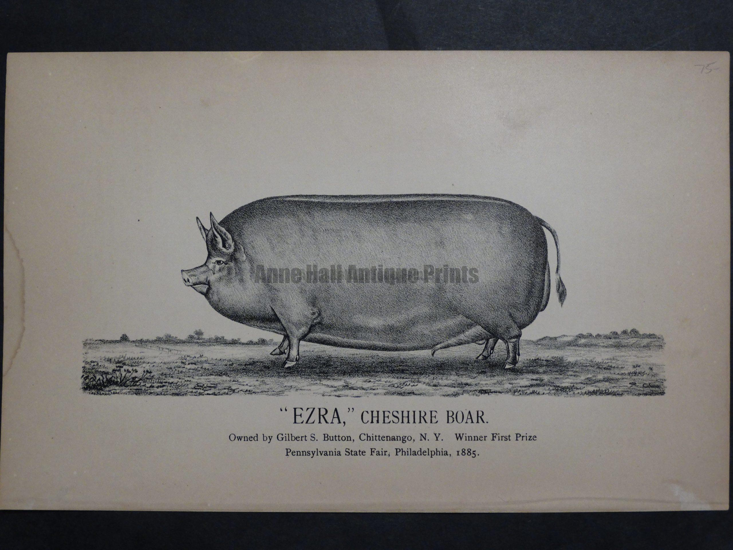 Ezra, Cheshire Boar, c.1885. $75.