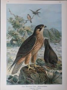 Falco Eleonorae Gene, 1895. $45.