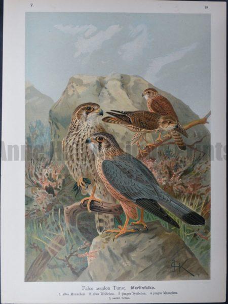 Falco aesalon Tunst, 1895. $45.