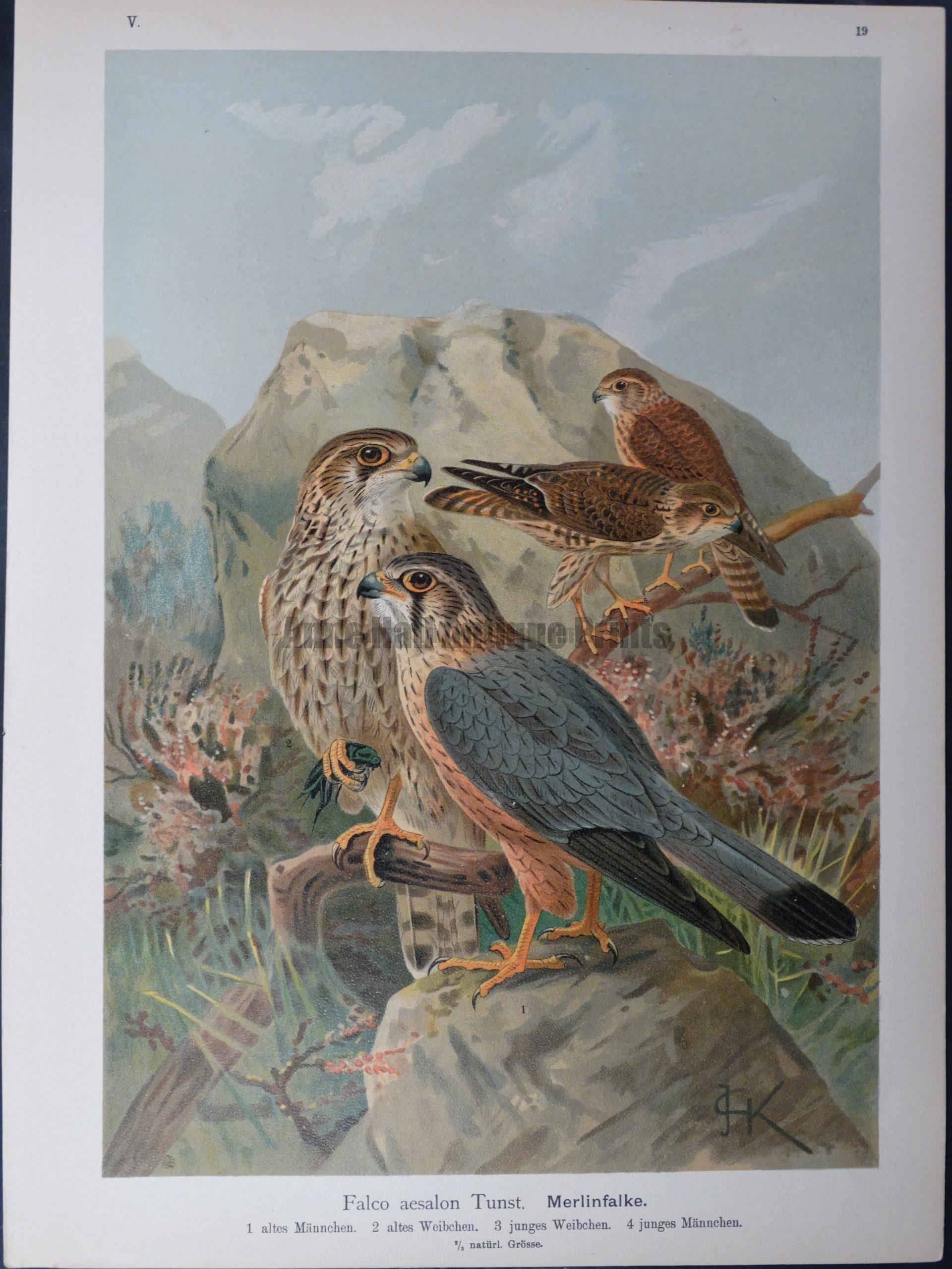 Falco aesalon Tunst, 1895