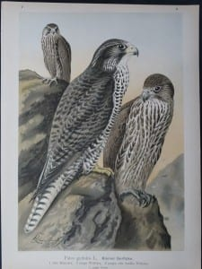 Falco gyrfalco 11, 1895. $45.