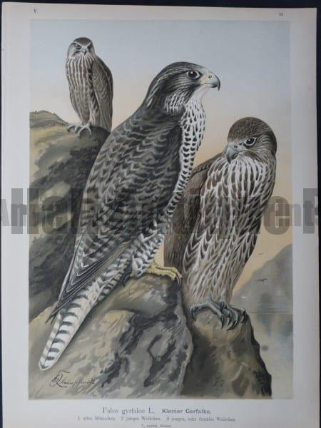 Falco gyrfalco 11