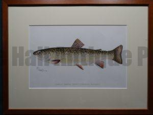 Female Brook Trout by Denton Framed $165. with free US shipping
