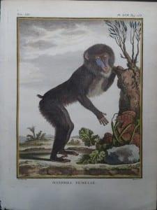 Female Mandrill Monkey