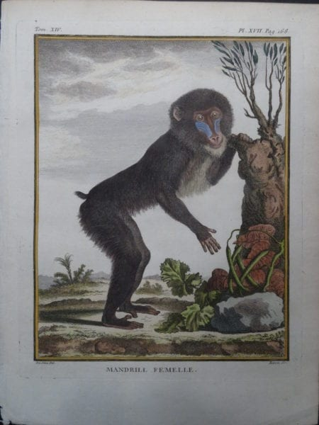 Female Mandrill Monkey