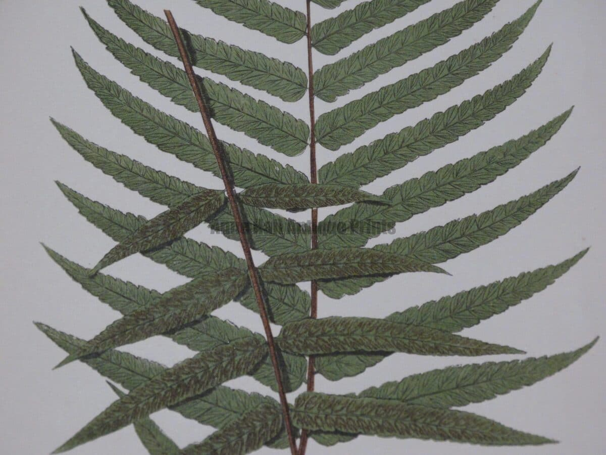 Find antique fern prints which are more than 100 years old.