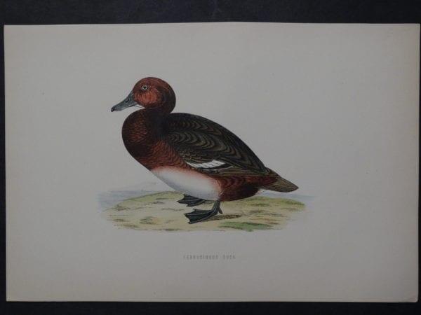 Ferrucinous Duck, 1890. $45.