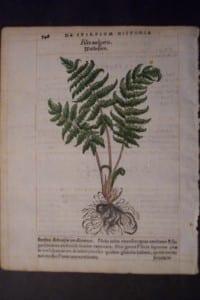 Filixuulgaris, 1560. $60.