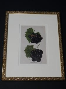 framed grapes lithograph